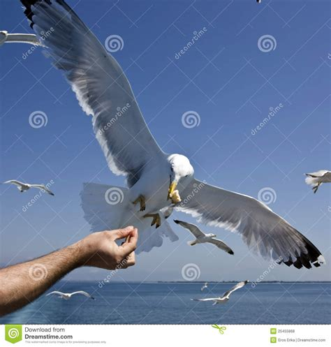 feeding seagulls royalty free stock photos image 25455868