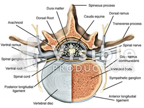 spine cross section the spinal cord cross section of the spinal cord