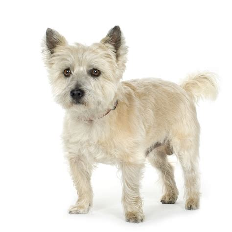 is it ok to cut a cairn terrieris har short then re grow it cairn terrier