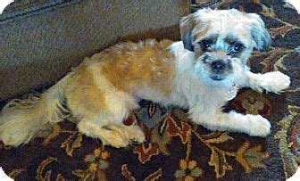 shih tzu rescue plano plano tx shih tzu meet murray to snuggle a for adoption