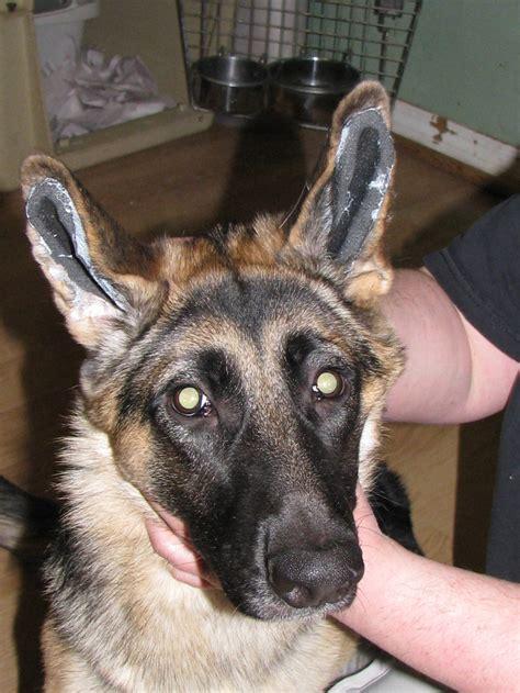 german shepherd puppies ears german shepherd ears surgery photo