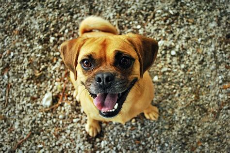 happy pug pictures free photo pug happy smiling pet free image on