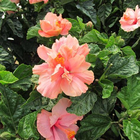 hibiscus bush bing images