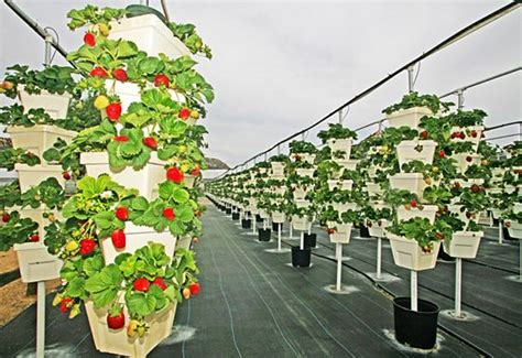 enviroingenuity  cal st hydroponic vertical strawberry