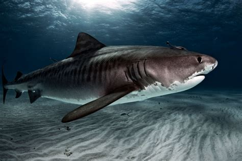tiger shark 2 10 deadly sharks you would not want to encounter while