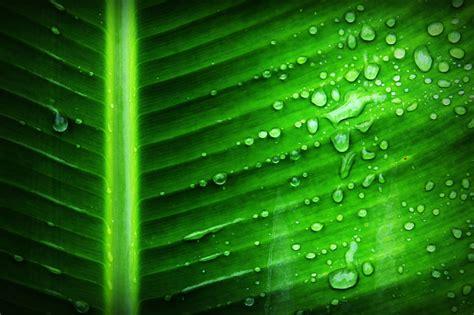 stock photo  green hosta leaves
