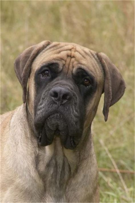 mastiff puppies for sale in ky dreamacres mastiffs sturgis ky