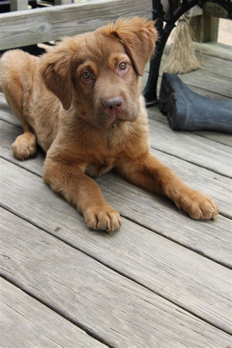 golden retriever and chocolate lab operation paws for homes bowser