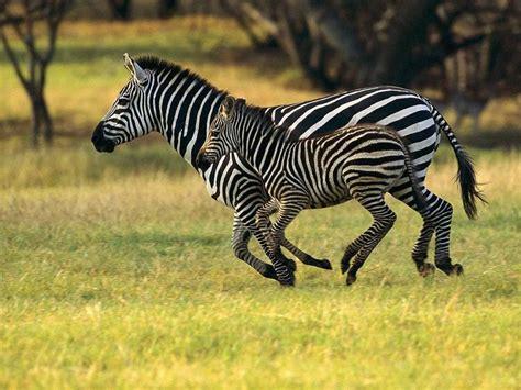 animals  africa images zebras running  hd wallpaper