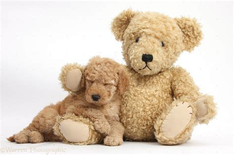 teddy puppies goldendoodle puppy sleeping on teddy dogs