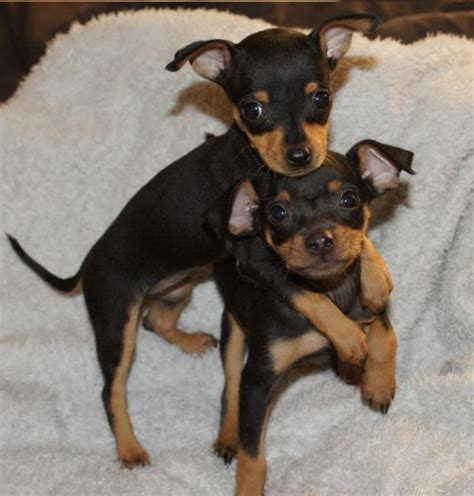 mini doberman pinscher puppies miniature doberman puppies