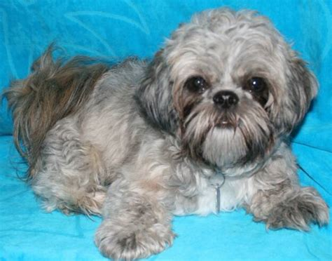 junique shih tzu previouspups