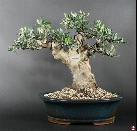 vasi per bonsai grandi ulivo bonsai attrezzi e vasi per bonsai