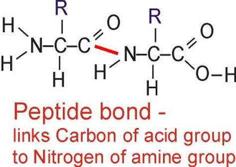 dipeptide diagram polymerisation of amino acids gcse revision biology