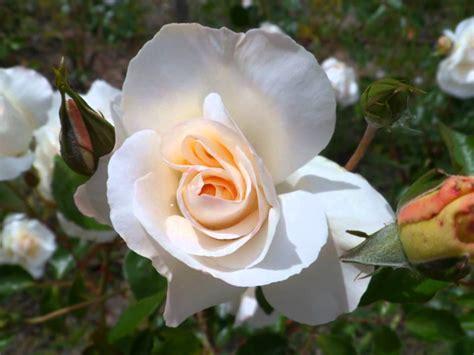 imagenes las flores video las mejores flores del mundo youtube