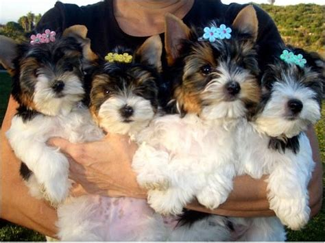 fox terrier puppies for sale near me puppies for free near me reanimators