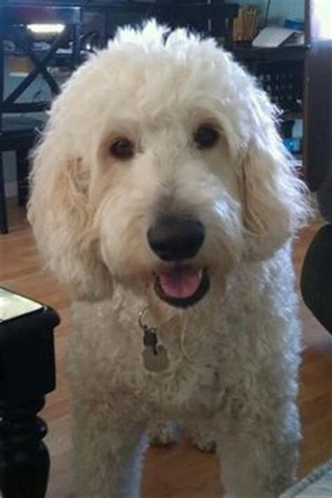 doodle name carla pin by carla millares on labradoodle haircut