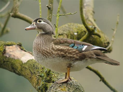 duck pictures file wood duck aix sponsa parc du clo 238 tre