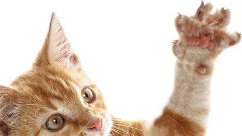 Cat Claw why it is never okay to declaw a cat cattime