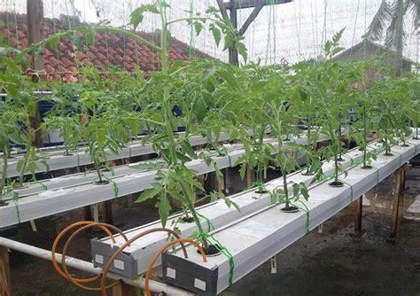 menanam cabe hidroponik nft 10 cara tepat dan mudah menanam tomat hidroponik subur