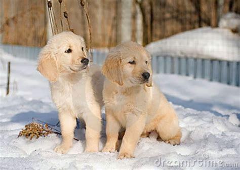golden retriever puppies snow aqui fotos de cachorros golden retriever 4 patas