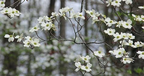 state flower of virginia virginia state flower american dogwood proflowers blog