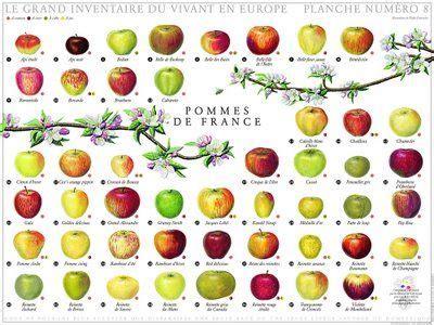 apple varieties apples of france http landlogics net wp content uploads