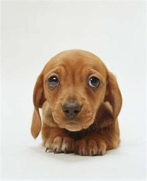 baby dachshund puppies baby dachshund pets and other animals baby dachshund dachshund and babys