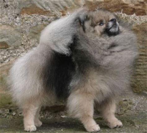 pomeranian diet to lose weight pomeranian overweight pic breeds picture