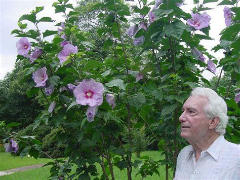 althea plant dr sam mcfadden archives aggie horticulture