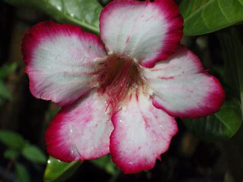 design bunga kamboja bunga kamboja desktop wallpaper