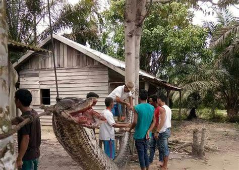 film manusia ular penunggu hutan cerita piton raksasa di kebun sawit sai terkaman