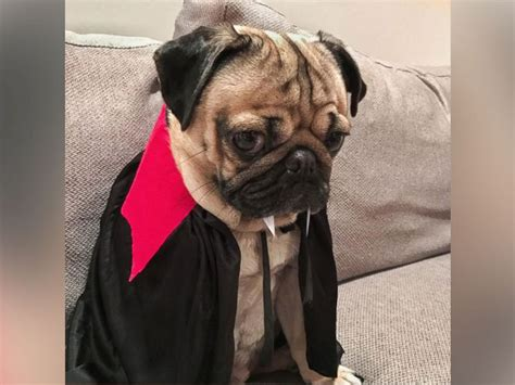 doug the pug book doug the pug shares best costumes new book abc news