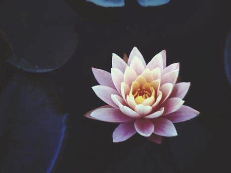 1000+ beautiful lotus flower photos · pexels · free stock
