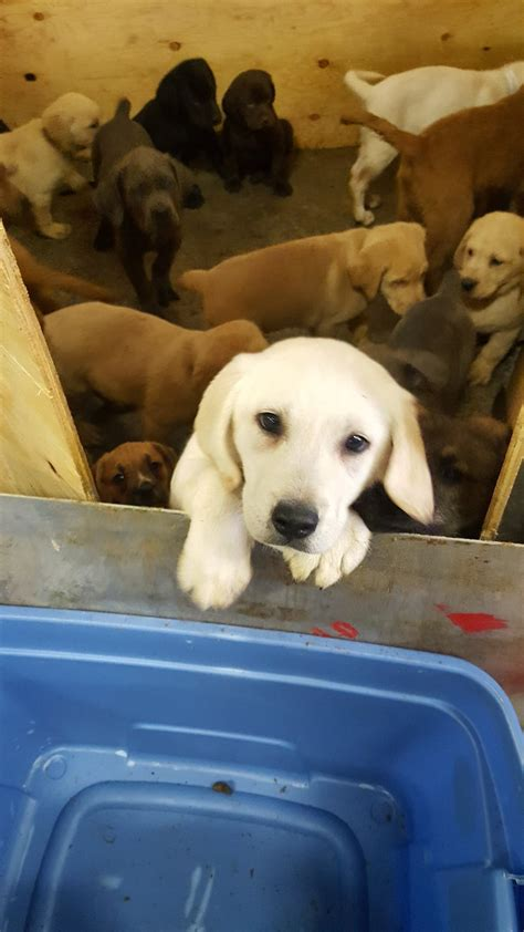 breeders in ny more than 100 puppies rescued after crash in new york fox8