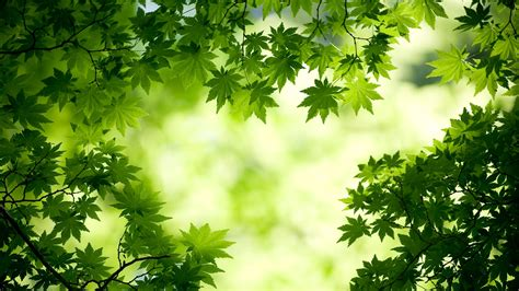 green maple leaves wall images hd desktop backgrounds