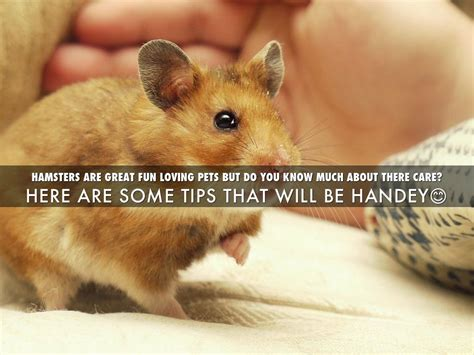 7 Tips On Taking Care Of Hamsters by Hamster Care Guide By Waltz