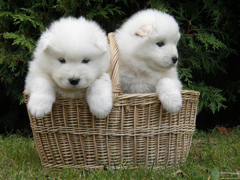 siberian samoyed puppies siberian samoyed puppy 6941194