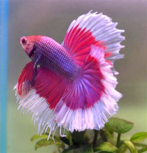 Best Aquarium My Fish Cleaning Tank Betta Cupang 25 best images about betta fish on betta beautiful fish and tropical fish tanks