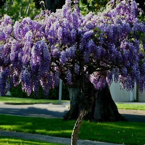 17 best images about garden wisteria lane on pinterest
