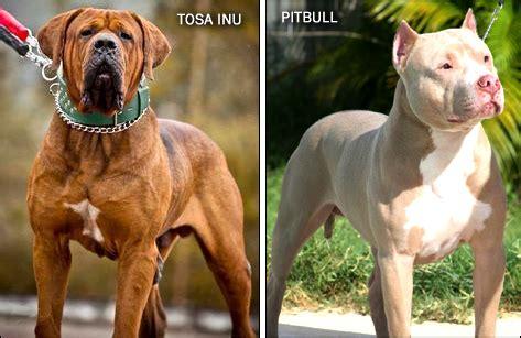 tosa inu tosa inu info temperament diet puppies pictures