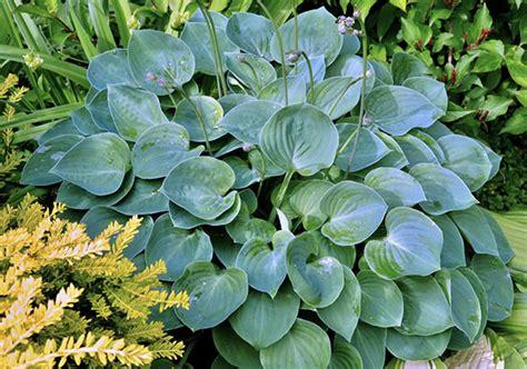 Garten Pflanzen Direkte Sonne by Hosta Pflanzen Pflege Und Sorten