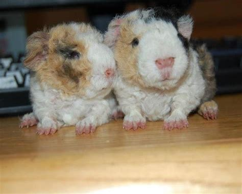 Texel guinea pig for sale ? Puppies for Sale, Dogs for