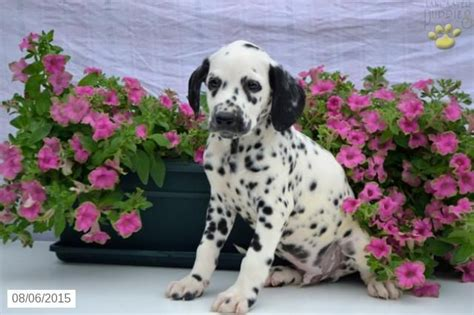 dalmatian puppies for sale in ny 17 best ideas about dalmatian puppies for sale on dalmatians dalmatian