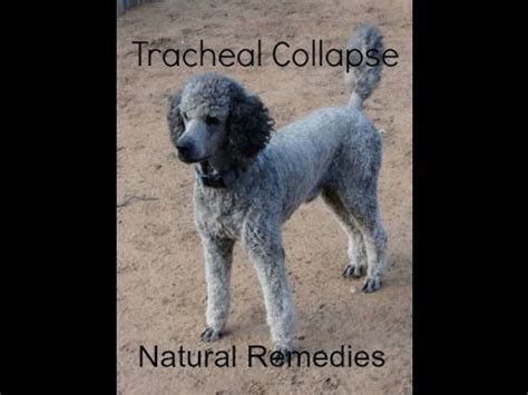 tracheal collapse in dogs coughing and tracheal collapse funnycat tv