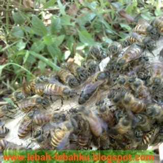 Cara Membuat Ratu Seblak | cara membuat ratu lebah dan memecah koloni ternak