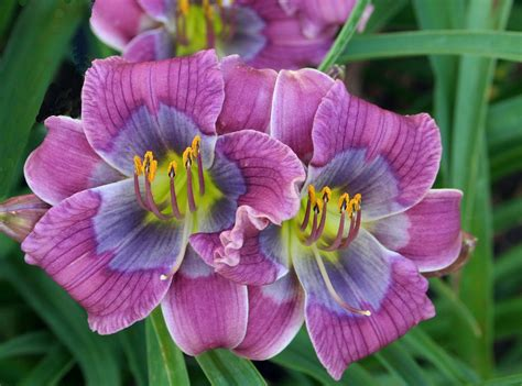 Dixie Blues daylily gardening in virginia small flowers part i