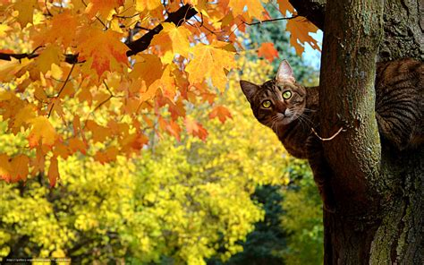 wallpaper chat automne tlcharger fond d ecran chat kote automne arbre fonds d