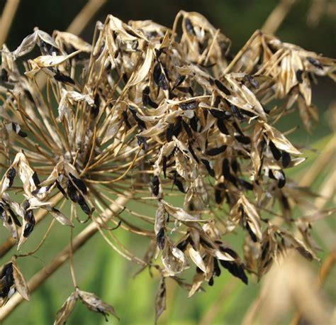 agapanthus seed sydney weeds committees