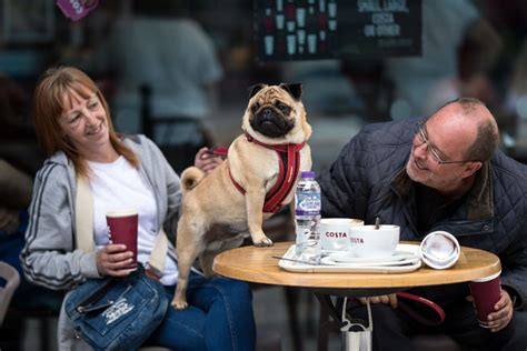 pug manchester 2017 a pug and its owners a drink in a cafe before attending pugfest manchester